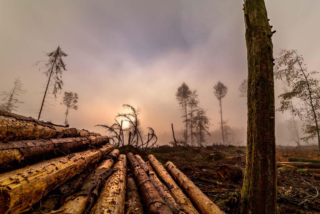Waldsterben durch Borkenkäfer im Westerwald.